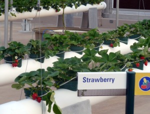 Strawberries growing in The Land Greenhouse